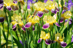 Iris bloom Royalty Free Stock Photo