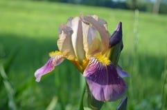 Iris Bloom multicolora Fotos de archivo libres de regalías