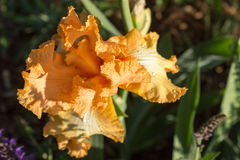 Iris in bloom Royalty Free Stock Photography