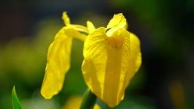 Iris stock video