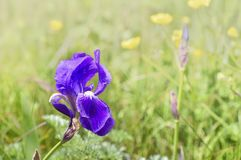 Iris blooming in a grassy meadow. Close on petals of a purple iris blooming in a grassy meadow royalty free stock photography
