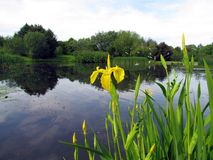Iris  blooming near a pond in a park. This is a yellow Iris Flower blooming by a pond in a park  one Summer day with Sea Gulls flying above the water Royalty Free Stock Photo