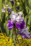 An Iris blooming on a spring day. A purple and white Iris in bloom on a spring day in a rural area Stock Photo