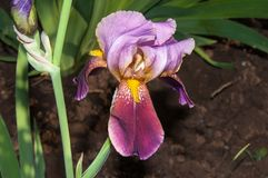 Iris blooming in spring Stock Images