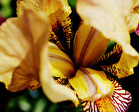 Iris Blooms Immagine Stock