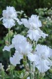Iris Blooms blanca Imagen de archivo libre de regalías