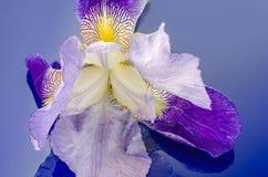 Iris blossom on blue glas Royalty Free Stock Photos
