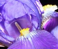 Iris Blossom Detail Fotografía de archivo
