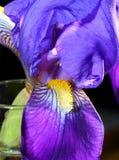 Iris Blossom vertical Foto de archivo libre de regalías