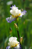 Iris blossoming in a garden, Giardino dell' Iris in Florence Stock Image