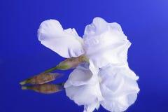 Iris on a blue background Stock Photos