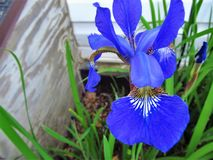 Iris of Blue. This is beautiful Iris with the color of blue in a flower garden towards late spring Royalty Free Stock Photo