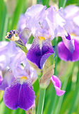 Iris. Or Blue Flag plants in garden Royalty Free Stock Images