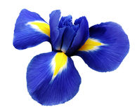 Iris blue flower. white isolated background with clipping path.  Closeup  no shadows Royalty Free Stock Image