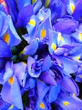 Iris, Blue, Flowers Stock Photo