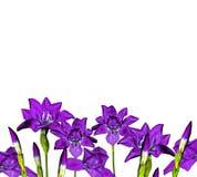 Iris blue flowers Stock Photography
