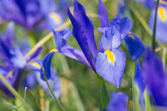 Iris Blue magic Stock Photography