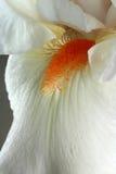Iris Blume Stockbilder