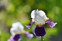 Iris Blume auf einem natürlichen Hintergrund des grünen Grases Stockfotos