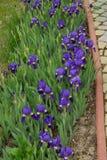Iris Blumen Lizenzfreie Stockfotos