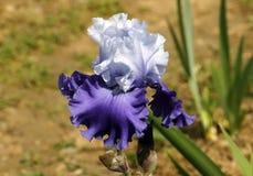 Iris, Blumen Lizenzfreie Stockfotografie
