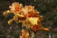 Iris, Blumen Stockfoto