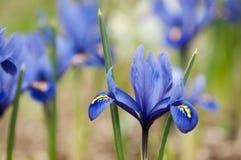 Iris Blumen Iris pumila im Gras am Frühling Stockfotografie