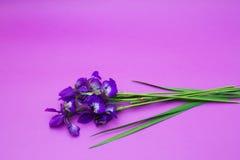 Iris Blumenstrauß von Blumen auf einem purpurroten Hintergrund Stockfoto