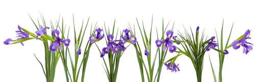 Iris border. Isolated on white Stock Photos