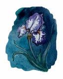 Iris Bosquejo de la acuarela ilustración del vector