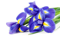Iris bouquet. Of fresh flowers isolated on white background Royalty Free Stock Photos