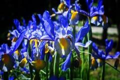 Iris Bouquet foto de stock royalty free