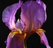 iris brodatego purpurowy Obraz Royalty Free