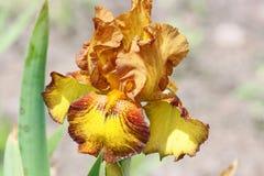 Iris in bruin en geel Stock Foto