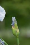 Iris Bud Fotografia de Stock Royalty Free