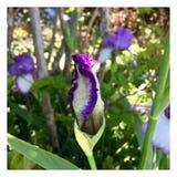 Iris Bud Fotos de archivo libres de regalías