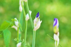 Iris Bud Stock Image