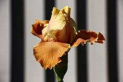 Iris Bud Un gioco di luce e di tonalità Tono della senape Fotografia Stock Libera da Diritti
