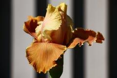 Iris Bud Un gioco di luce e di tonalità Una fine su Fotografie Stock Libere da Diritti