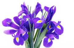Iris Bunch Stockbild