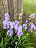 iris bunch stock photos