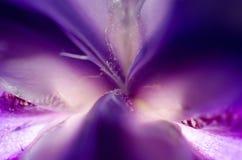 Iris Center Petals Stock Photography
