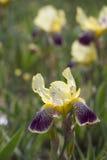 Iris chino L Flor Fotografía de archivo libre de regalías