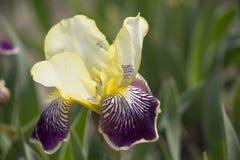 Iris chinois L Fleur Photo libre de droits