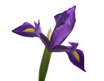 Iris close up Royalty Free Stock Image
