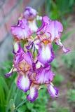 Iris close up Stock Images