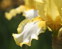 Iris Closeup Royalty Free Stock Photography
