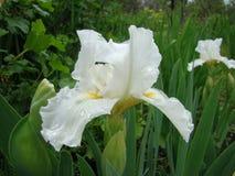 Iris. Or Cockerel genus of perennial rhizomatous plant of the family iridaceae Royalty Free Stock Photography