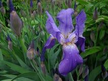 Iris. Or Cockerel genus of perennial rhizomatous plant of the family iridaceae Royalty Free Stock Photos