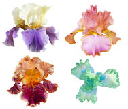 Iris Collection royalty free stock images